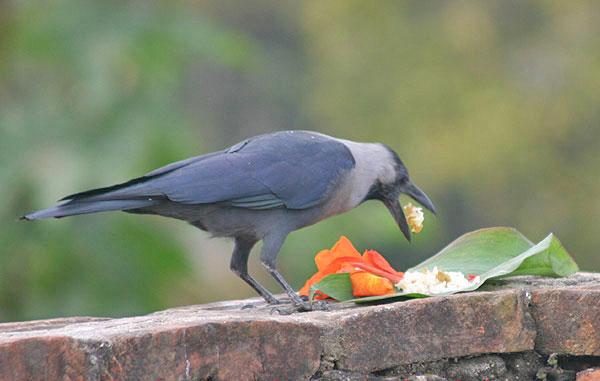 Nepali Festival, Bird Festival, Crow Festival, kag tihar
