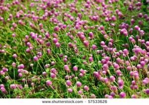 stock-photo-globe-amaranth-or-gomphrena-globosa-fading-into-the-background-57533626